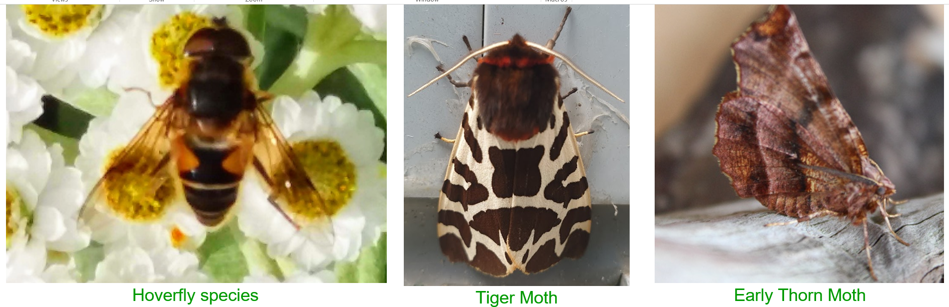 Hoverflies and Moths